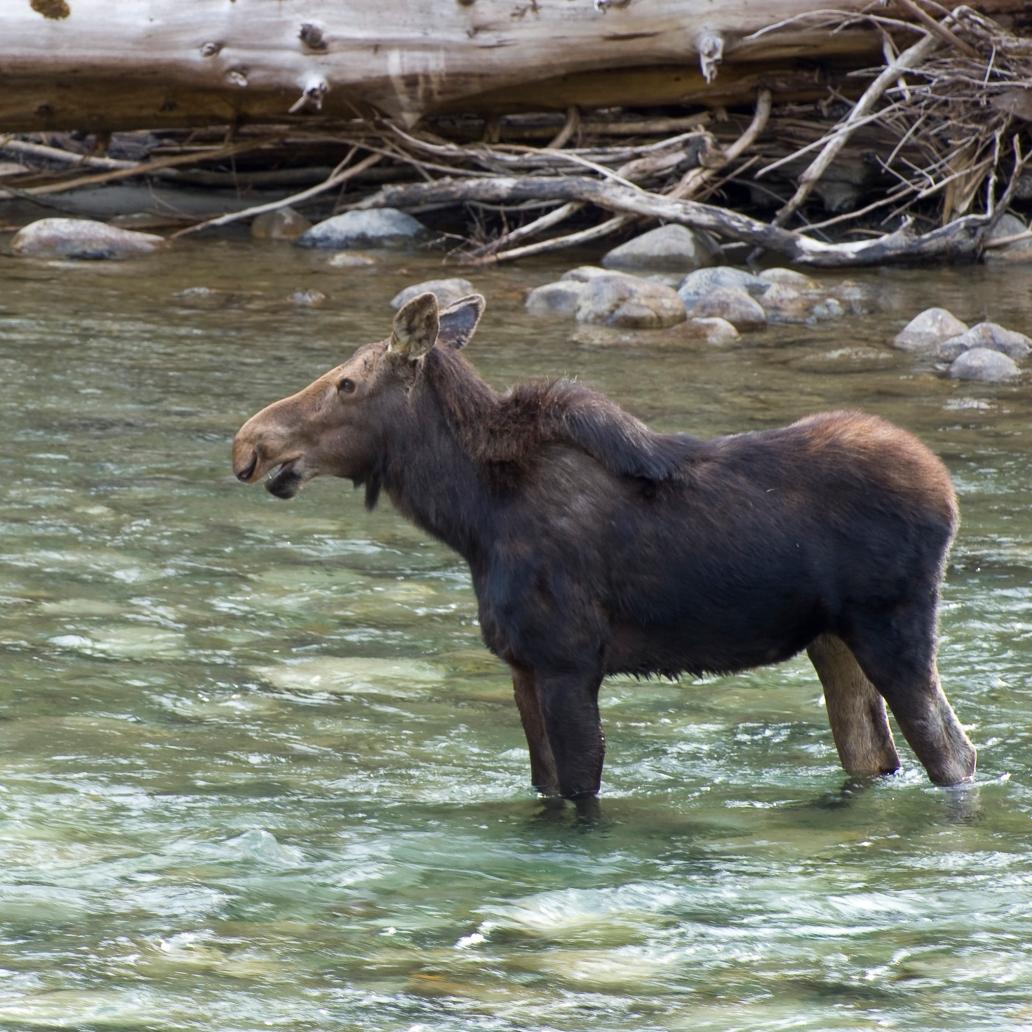 moose2a