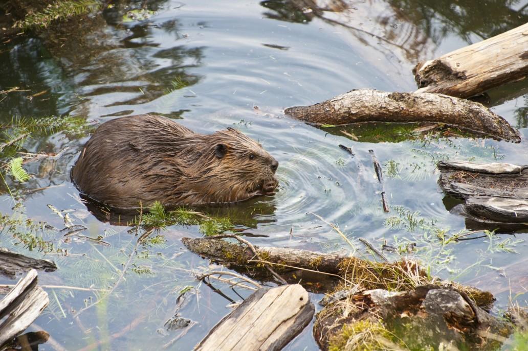 beaver-2733smaller