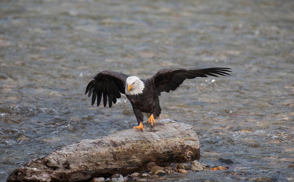 eaglewalking2
