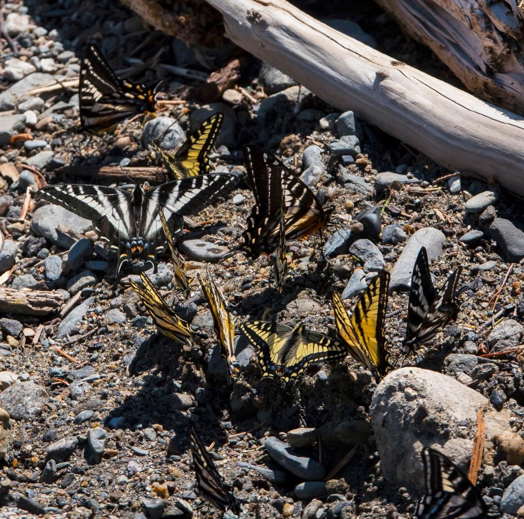 clusterof butterfliescropped2
