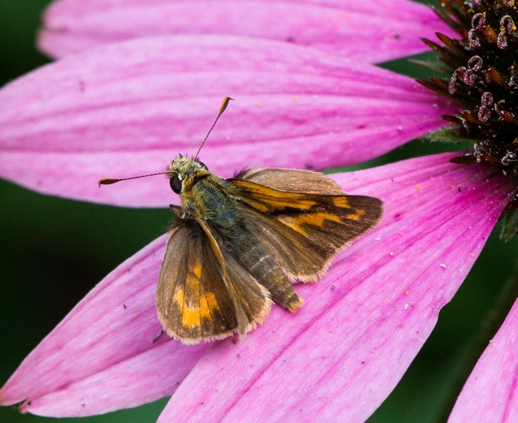 DSC_3636butterflyflower