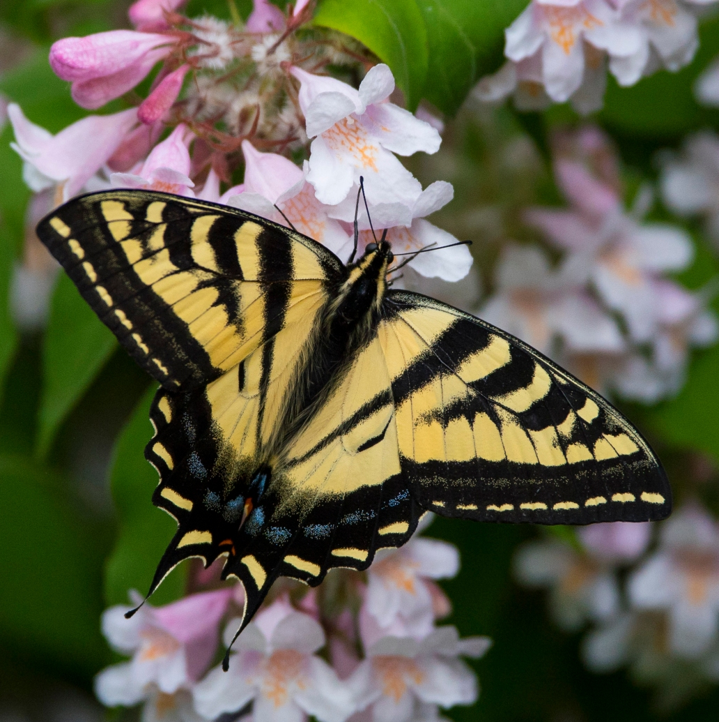 swallowtailcropped