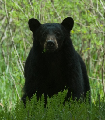 _DSC0099_1349black bear eatinggrass