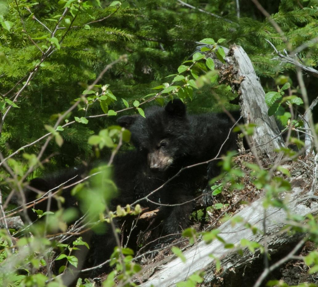 _DSC0110_1360black bear baby1