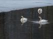 3 swans open mouth DSC_6361