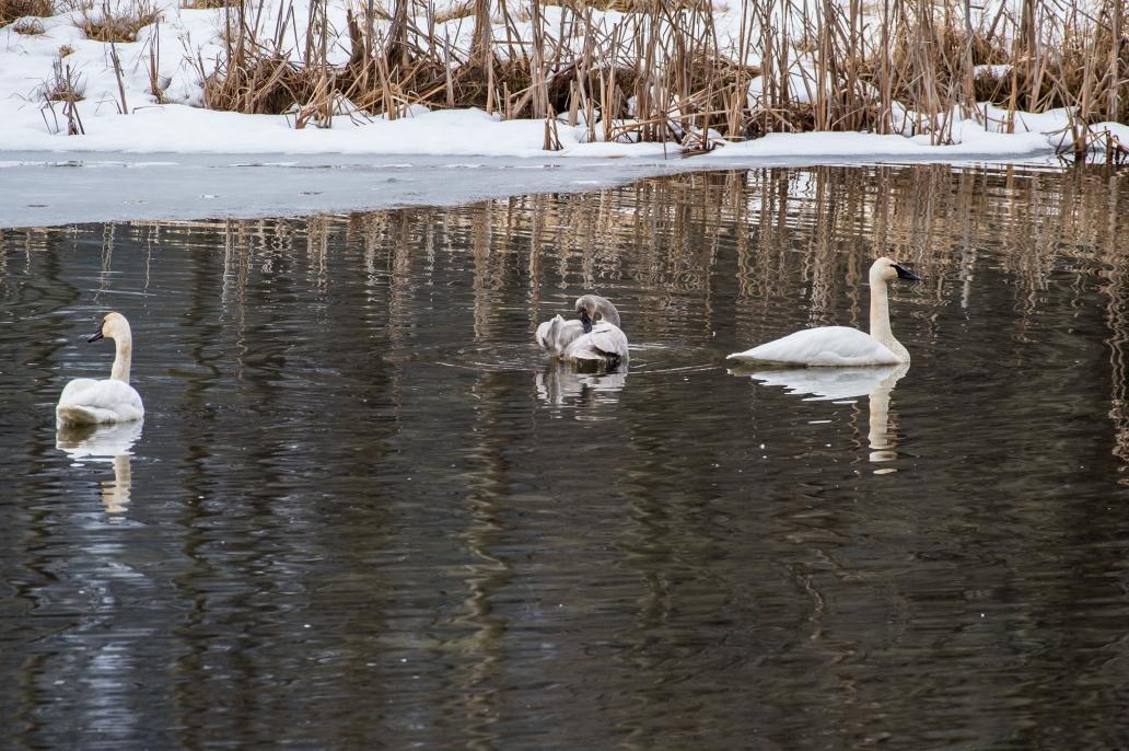 3 swans signet DSC_6355