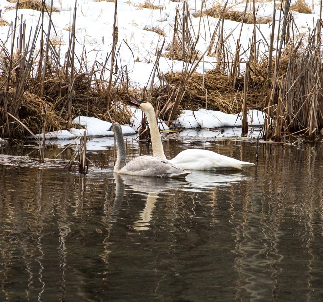 DSC_63852 swans grazing cropped