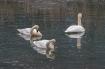 3 swans DSC_7770