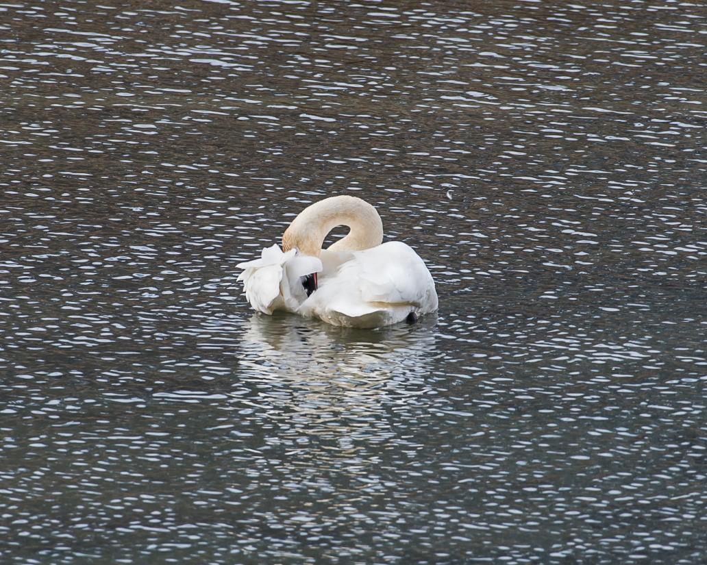 swan clean cropped 1 DSC_6847