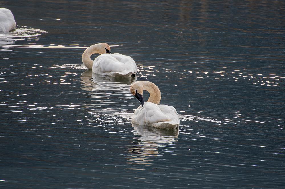 swan groom pause DSC_7202