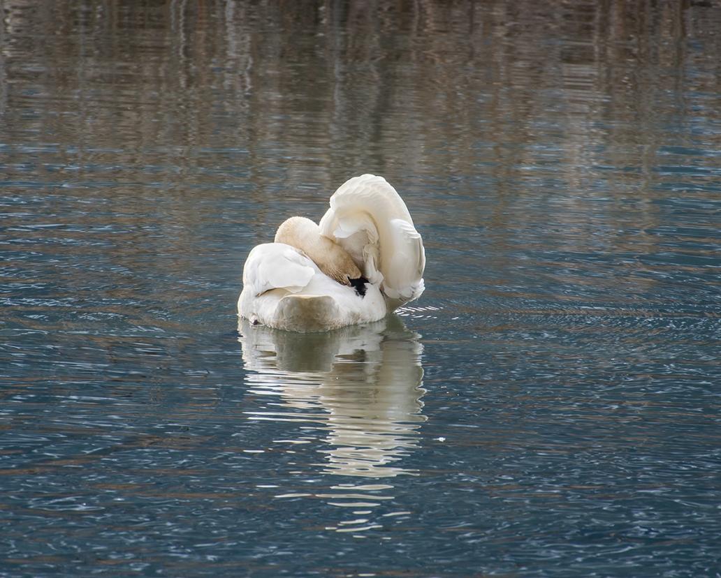 swan under wing DSC_7144 copy