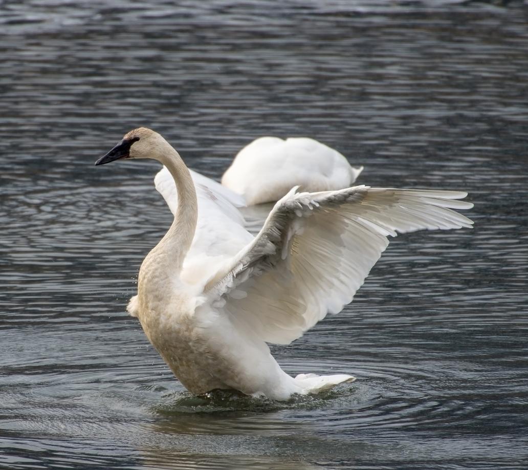 swan wings 3 DSC_6922