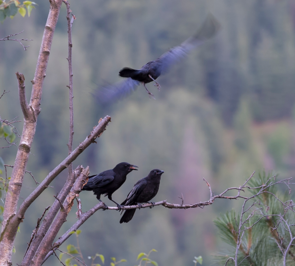 DSC_6194cropped crow_raven sequence24