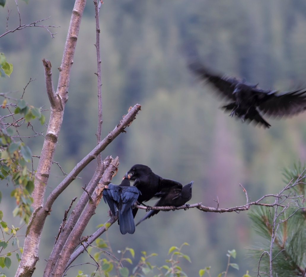 DSC_6202cropped crow_raven sequence24