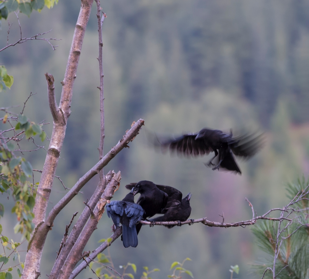 DSC_6203cropped crow_raven sequence24