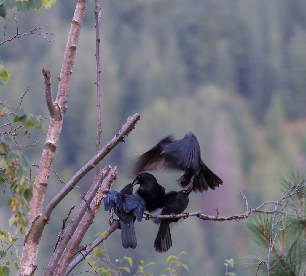 DSC_6204cropped crow_raven sequence24