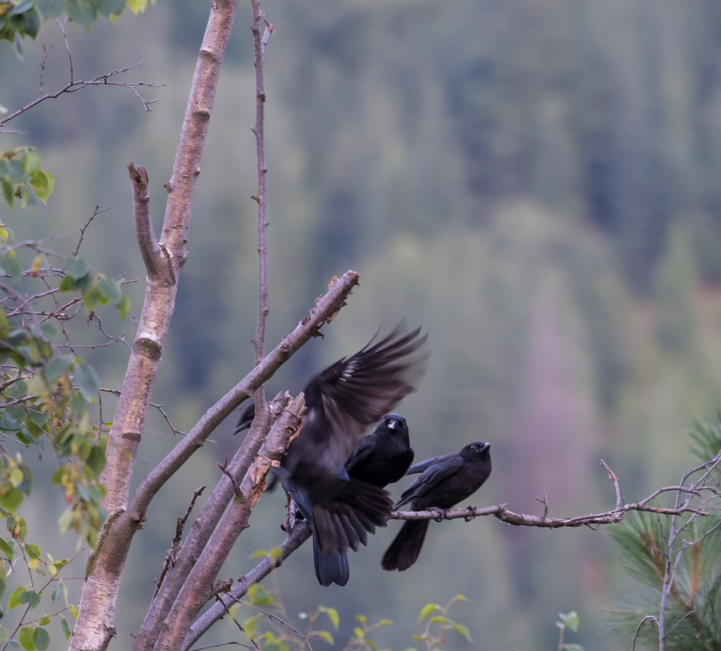 DSC_6206cropped crow_raven sequence24