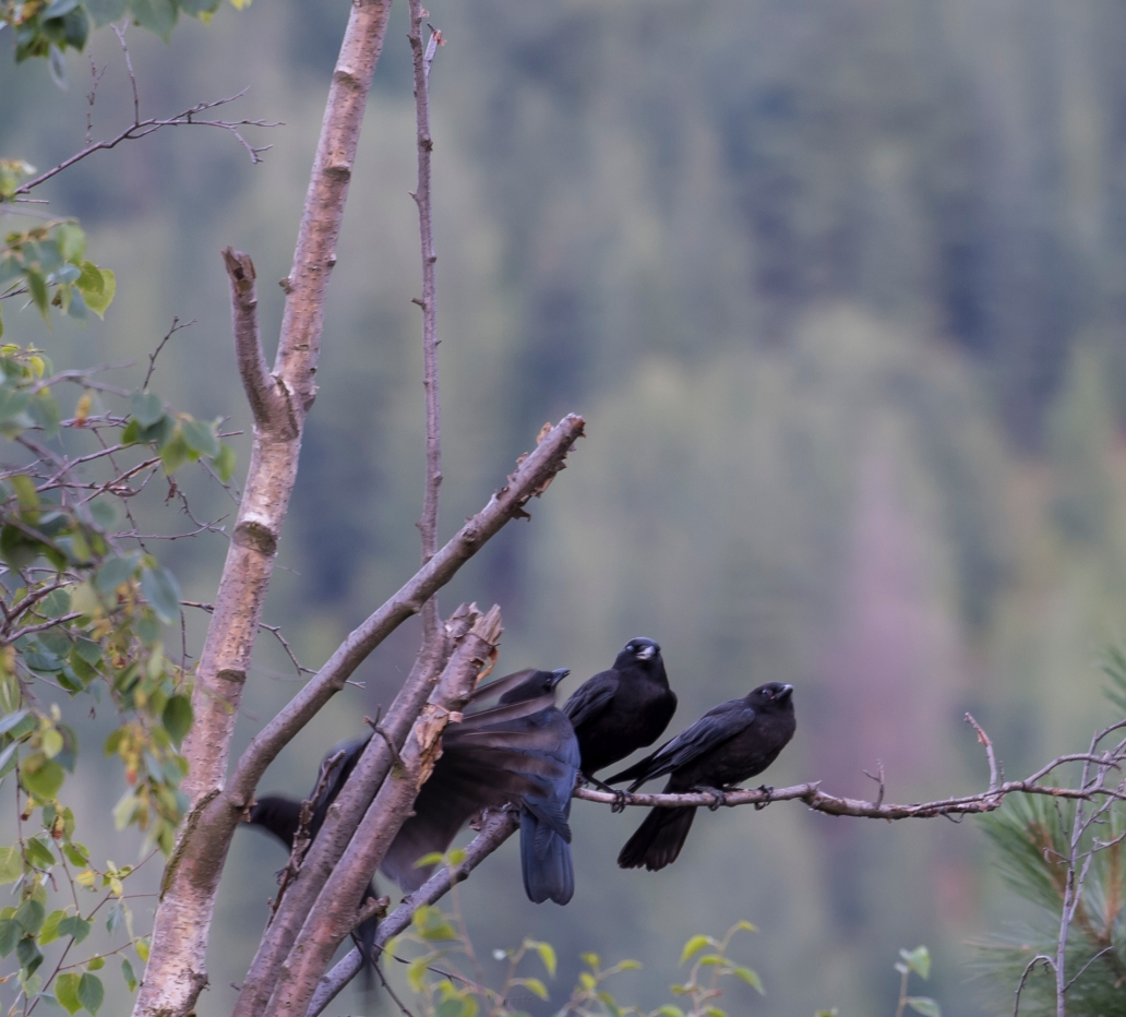 DSC_6207cropped crow_raven sequence24